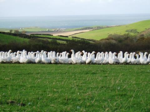 Keith Wickett's Free range geese